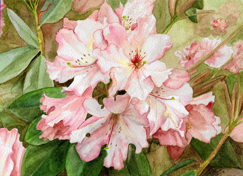 Rhodo_Watercolour_28-11-15_sml.jpg