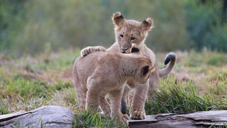 0_1527724498559_1920x1080_playing-lion-cubs.jpg