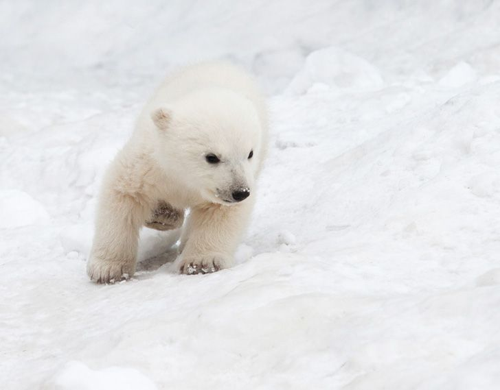 Polar-Bear-Cub-Little.jpg